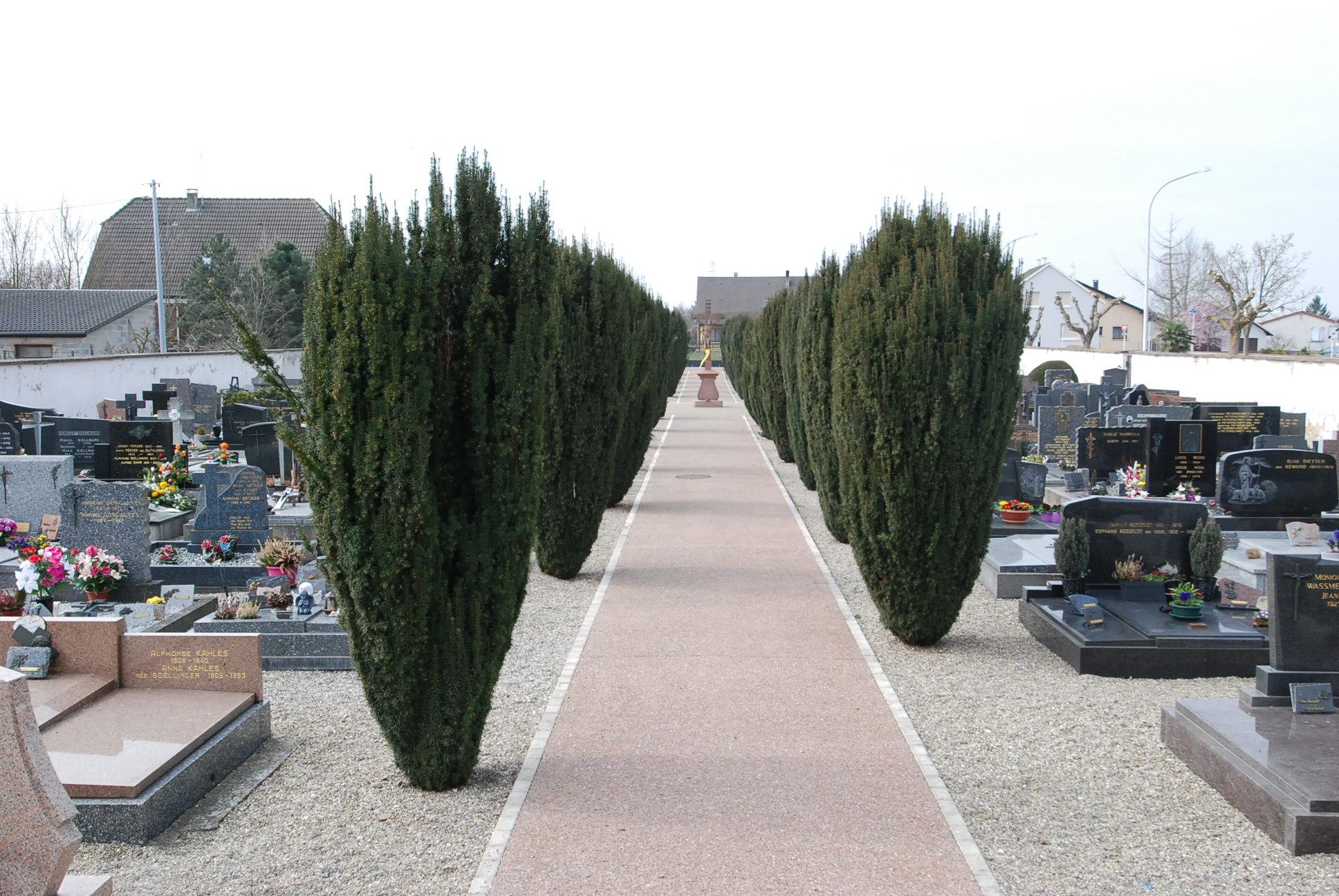 allée centrale bordée de tuyas au cimetière de Biesheim